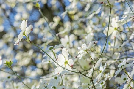 Flowering dogwood - Cornus florida in Arboretum Tesarske Mlynany, Slovak republic. Springtime scene. Stock fotó
