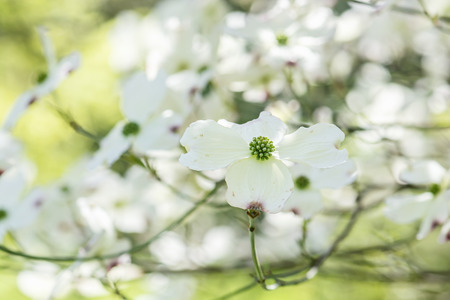 Flowering dogwood - Cornus florida in Arboretum Tesarske Mlynany, Slovak republic. Springtime scene. Stock Photo