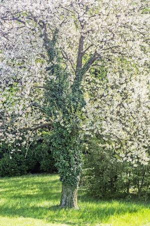 Flowering tree in Arboretum Tesarske Mlynany, Slovak republic. Seasonal natural scene. Stock fotó