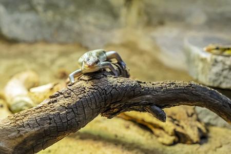 Rainbow mabuya - Trachylepis margaritifera. Animal scene.