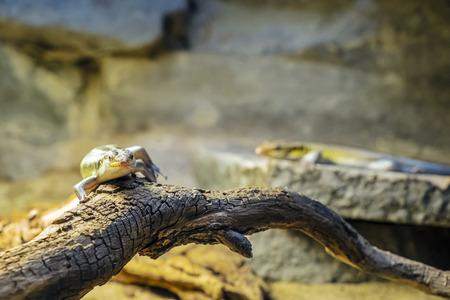 Rainbow mabuya - Trachylepis margaritifera. Animal scene. Stock Photo