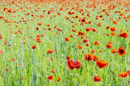 Field of common poppy - papaver rhoeas. Seasonal natural scene. Beauty in nature. Vibrant colors.