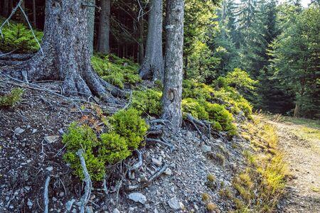 Coniferous forest with footpath, Low Tatras, Slovak republic. Seasonal natural scene. Travel destination. Imagens - 128905845