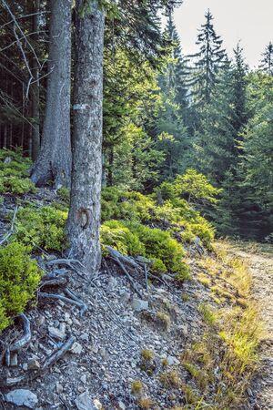 Coniferous forest with footpath, Low Tatras, Slovak republic. Seasonal natural scene. Travel destination. Imagens