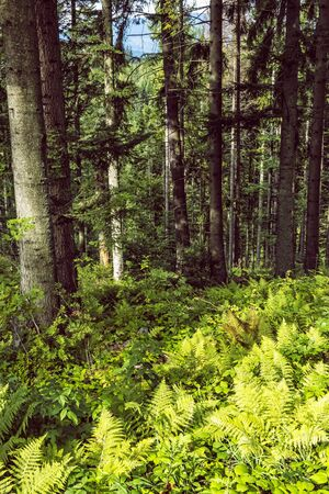Coniferous forest, Babia hora, Orava, Slovak republic. Seasonal natural scene.