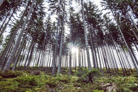 Coniferous forest with sunrays, Babia hora, Orava, Slovak republic. Seasonal natural scene.