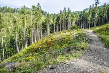 Tourist footpath and coniferous forest, Babia hora, Orava, Slovak republic. Seasonal natural scene.