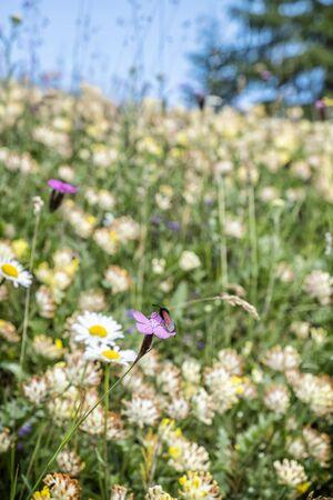 Meadow flowers in Big Fatra mountains, Slovak republic. Seasonal natural scene. Travel destination. Fauna and flora. Stockfoto