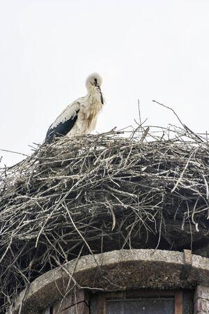 White stork (Ciconia ciconia) nesting on the roof, Hochstadt, Bavaria, Germany. Animal scene.