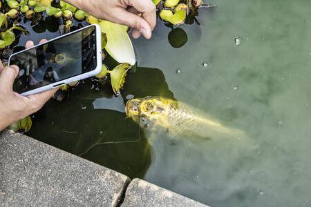 Photographing golden carp in the water. Animal scene. Stockfoto