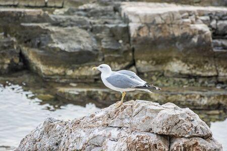 Portrait of seagull. Bird scene. Sea life.