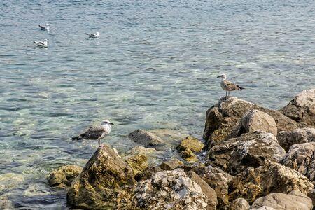 Seagulls, Primosten, Croatia. Bird scene. Sea life. Natural scene.