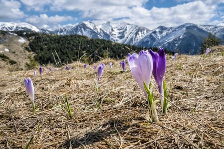 Blooming crocus flowers, National park Western Tatras mountains, Slovak republic. Seasonal natural scene. Фото со стока