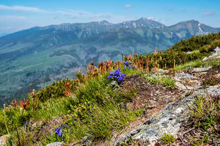 Campanula serrata flowers, High Tatras, mountains, Slovak republic. Seasonal natural scene.