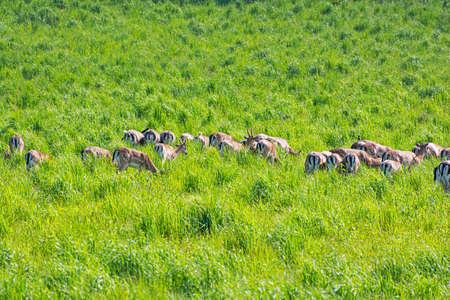 Herd of European roe deer - Capreolus capreolus in meadow, Slovakia. Seasonal natural scene.