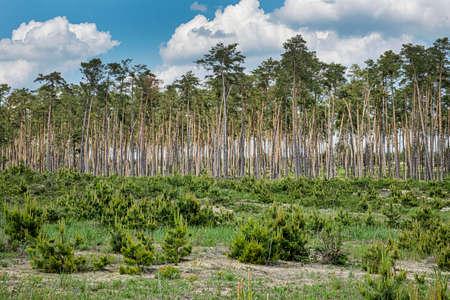 Pine forest in Zahorie region, Slovak republic. Natural scene.