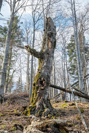 Head shape tree in deciduous forest, Big Fatra mountains, Slovak republic. Seasonal natural scene. Hiking theme.