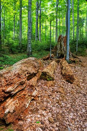 Dead tree, primeval forest Stuzica, National Park of Poloniny, Slovak republic. Seasonal natural scene.