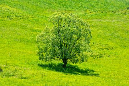 Big tree in the green meadow, Stara Lubovna, Slovak republic. Seasonal natural scene. Standard-Bild