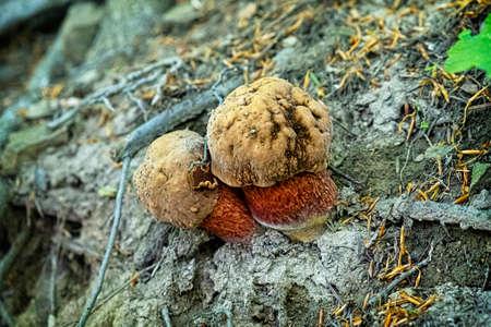 Detailed photo of mushrooms, primeval forest Stuzica, National Park of Poloniny, Slovak republic.