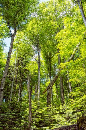 Primeval forest Stuzica, National Park of Poloniny, Slovak republic. Seasonal natural scene. Standard-Bild
