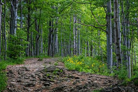 Beech forest, Vihorlat mountains mountains, Slovak republic. Summer scene. Hiking theme.