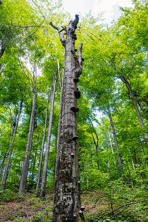 Dead tree in Beech forest, Vihorlat mountains mountains, Slovak republic. Summer scene. Hiking theme.