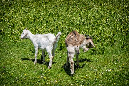 Two domestic goats, open-air museum in Stara Lubovna, Slovak republic. Animal scene.