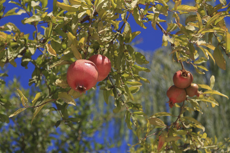 showcase interiors: ripe pomegranate on a branch against blue sky background Stock Photo