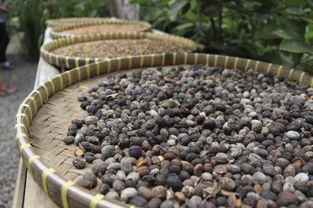 Luwak Coffee Beans drying  in the basket in coffe plantation in  Ubud, Bali