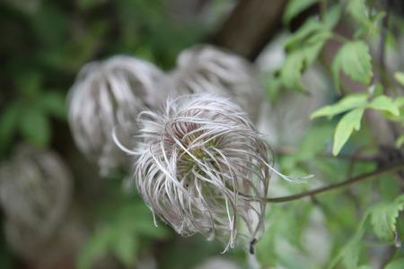 Fluffy bush flower in Prague