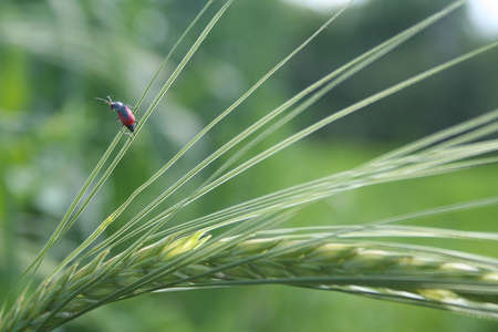 Rye beetle photo