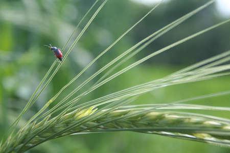 Rye and beetle Stock Photo - 13968743