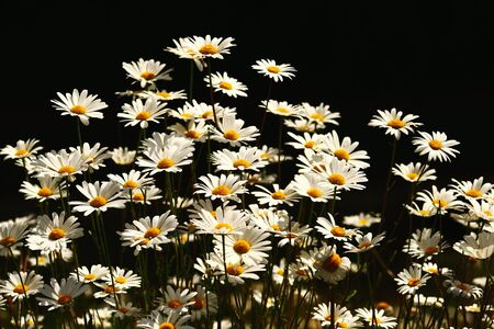 field of blossoming daisies in front of dark black background, strong contrasted light 스톡 콘텐츠 - 146888782