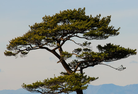 foothills: A manicured Pine tree near HayamaJapan with the Mt. Fuji foothills in the distance.
