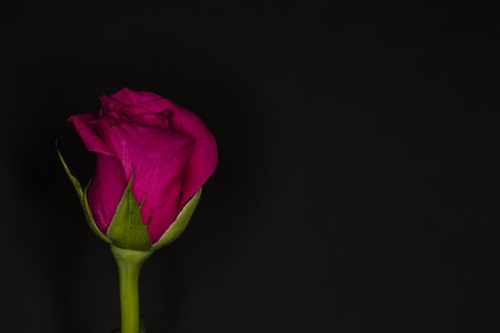 Single pink rose rosa bridal isolated on a black background Stock Photo
