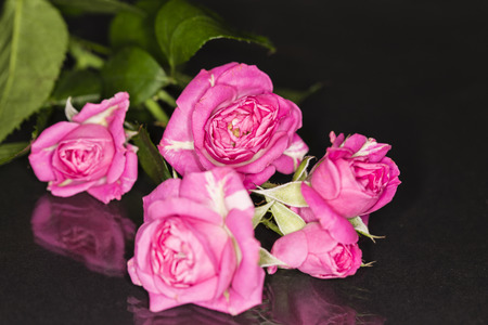 pink roses rosa bridal isolated on a reflective  black background Stock Photo