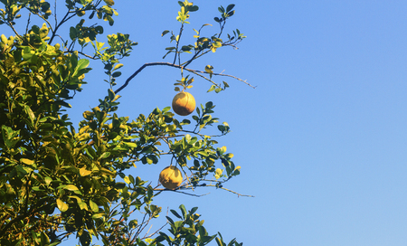 plump: Two plump and ripe grapefruit ready to fall from the tree branch against a perfect blue sky.