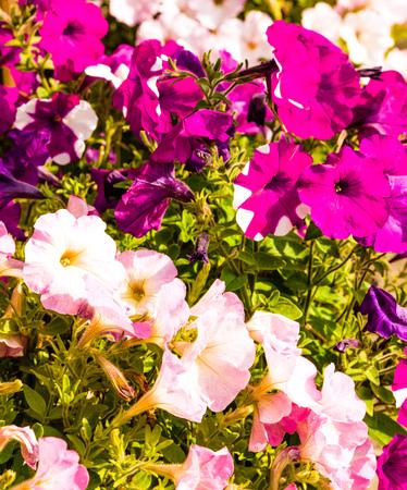 petunias: Colorful Petunias blooming in spring time Stock Photo