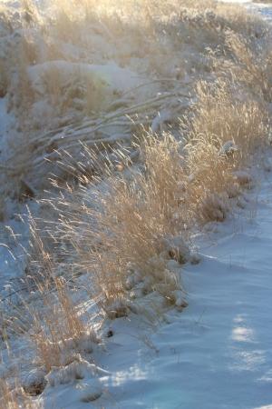 冬の草 写真素材