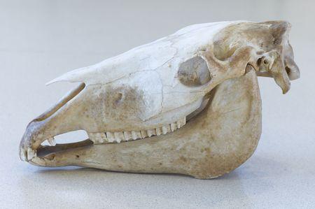Cráneo de un caballo  Foto de archivo - 6623819