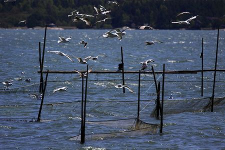 Seagulls hovering over a trap for baltic herring. photo