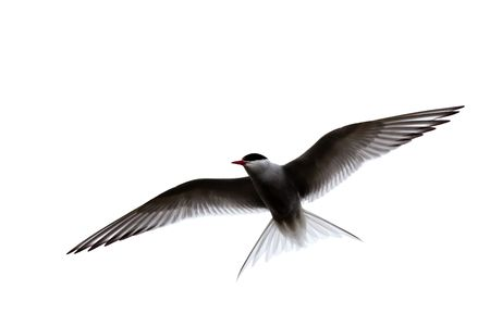 A common tern in flight, wings spread. Stock Photo - 5106708