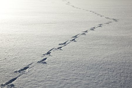 A trail of deer tracks on a clean, flat surface of ice covered by snow. photo