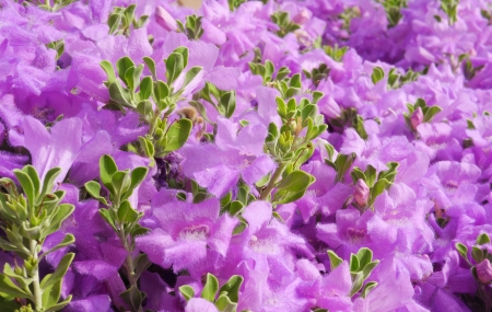 A close up shot of fuzzy, bright purple desert flowers and green leaves