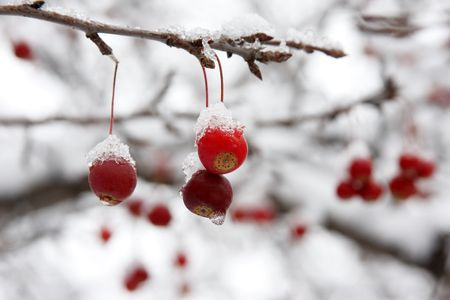 Red berries covered with snow hanging from tree branch. Stock Photo