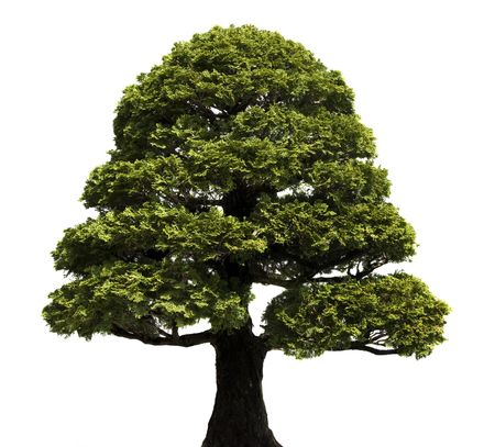 hinoki: Bonsai tree against a white background.  Hinoki False Cypress, style Formal Upright.  Chamaecyparis obtusa. Stock Photo