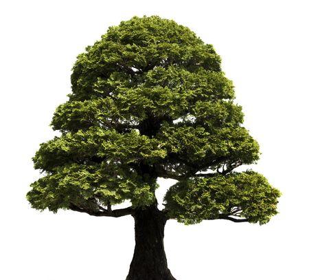 Bonsai tree against a white background.  Hinoki False Cypress, style Formal Upright.  Chamaecyparis obtusa. Stock Photo