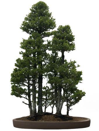 Bonsai tree against a white background.  Dwarf Alberta Spruce, style Grove.