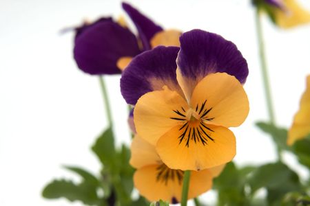 Close up view of Viola flowers against a white background. Stock Photo